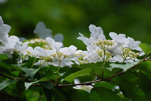 ヤブデマリが開花した