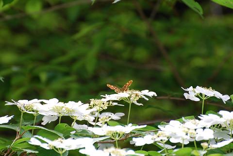 サカハチチョウが花に