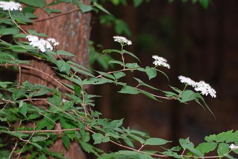 暗闇にコバノガマズミの花