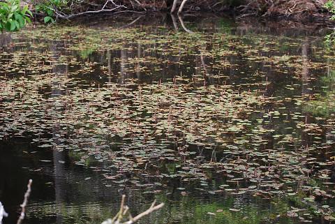 長ノ山湿原奥の池にヒルムシロ