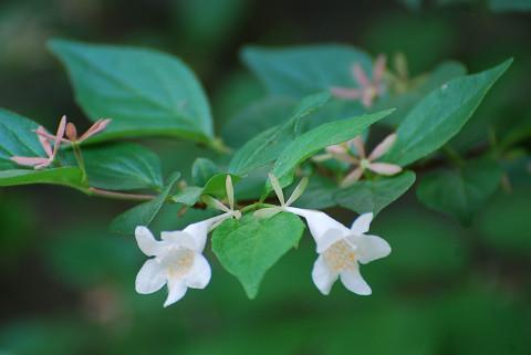 ツクバネウツギの花が美しい