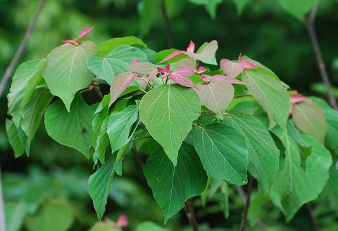 アカメガシワの葉がきれい