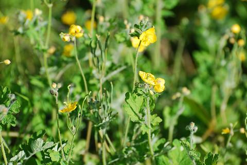 クサノオウの黄色い花が