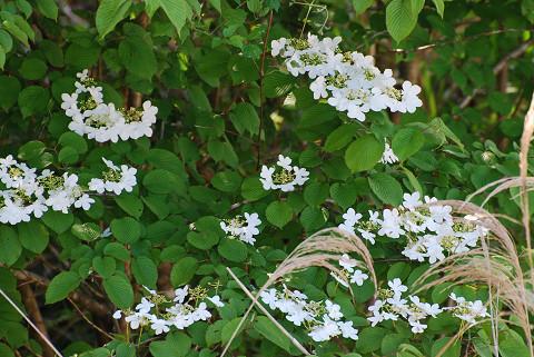 ヤブデマリの装飾花が
