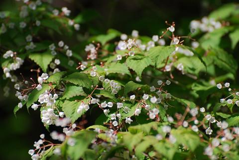 珍しいオトコヨウゾメに花が