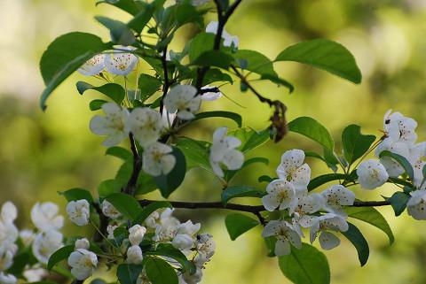 ズミの花はきれいだ