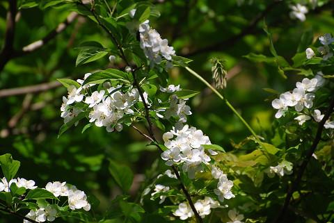 ズミの花はきれいだ2