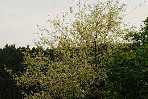開成地区の白い葉の木1