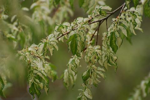 開成地区の白い葉の木4