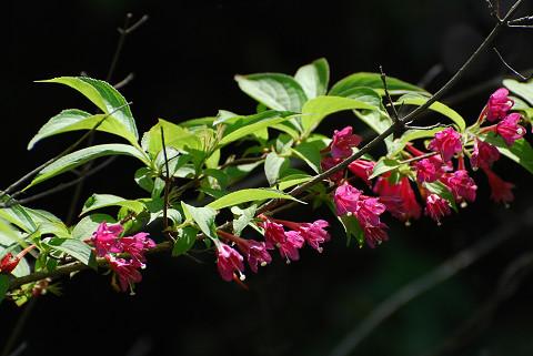 紅いヤブウツギの花が2
