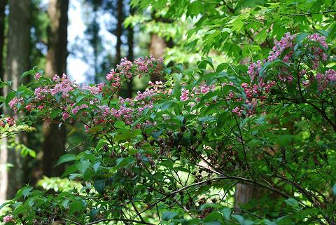 ピンクのタニウツギの花1
