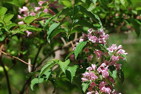 ピンクのタニウツギの花2