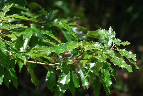 アベマキの光沢のある葉
