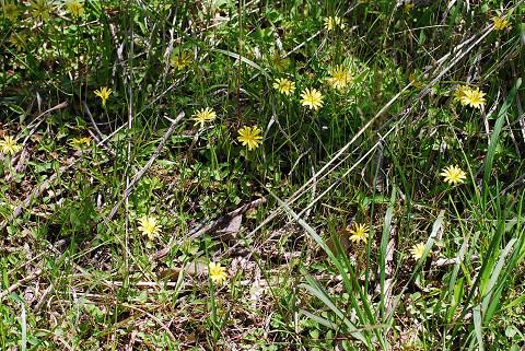 ジシバリの黄色い花