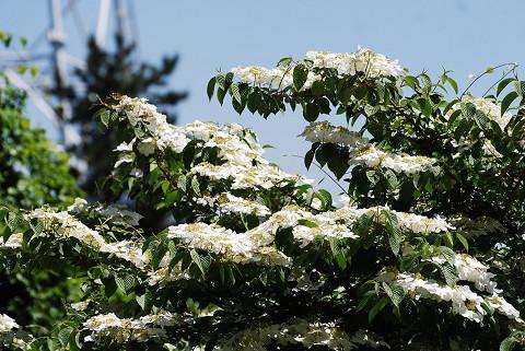 ヤブデマリに白い花