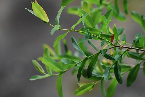 タチヤナギの葉は
