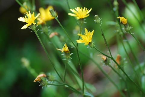 ハチジョウナの花は