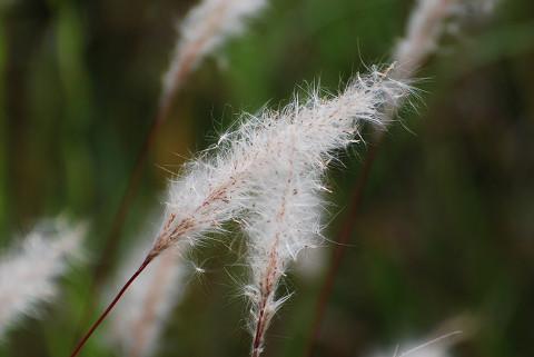 真っ白のチガヤの穂