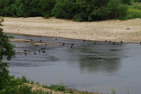 矢作川の河原にカラスが