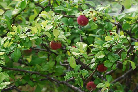 リンゴのような植物が