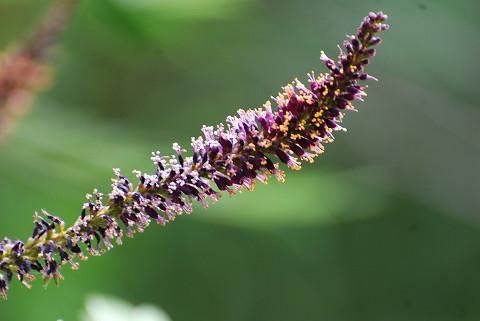 イタチハギの花は