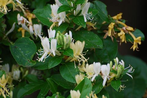 スイカズラの花が美しい