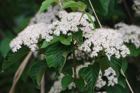 ガマズミの白い花は