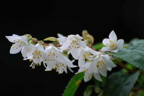 ウツギの花は美しい