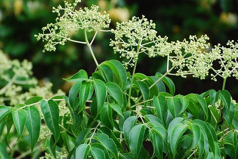 ゴンズイの大きな花序が
