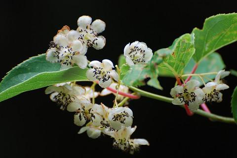 サルナシの白い花は2