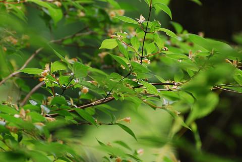 キバナツクバネウツギの花は