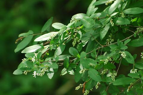イボタノキの花芽がついた