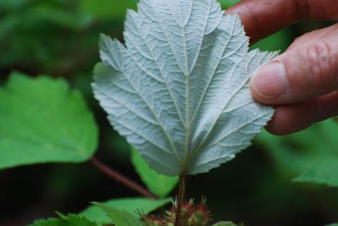 葉の裏が真っ白