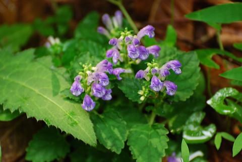 カキドオシの紫の花