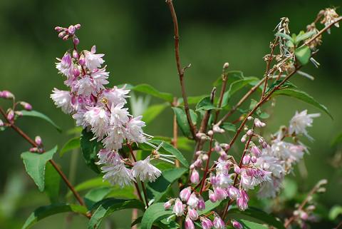 サラサウツギの花がきれい