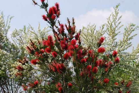 マキハブラシの赤い花