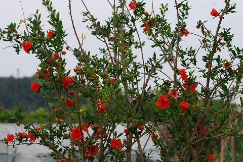 ヤエザクロの赤い花