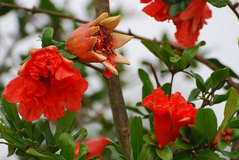 ヤエザクロの赤い花2