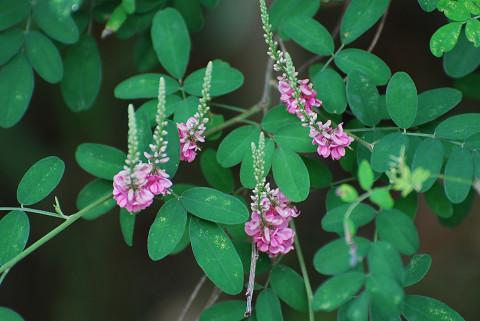 コマツナギのピンクの花