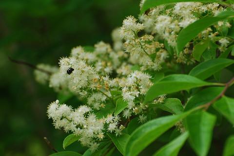 クロミノニシゴリの白い花