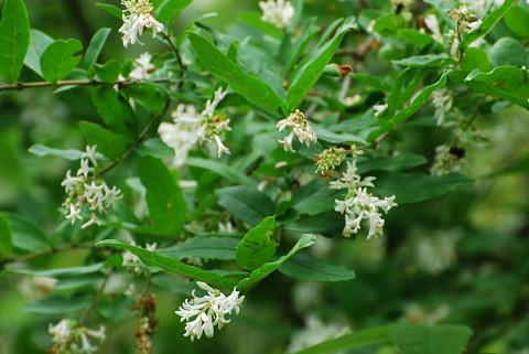 裏山のイボタノキに花