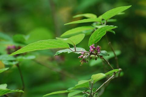 ヤブムラサキに花が