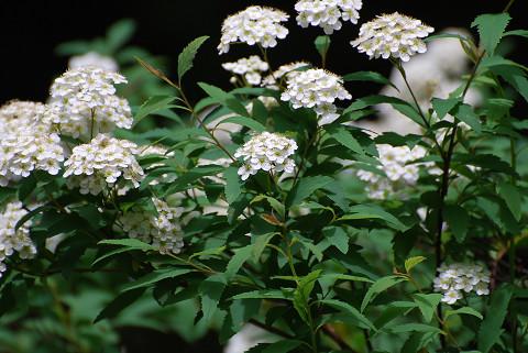 コデマリの花が