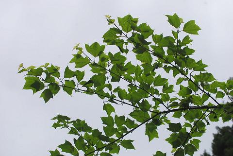 ウリハダカエデの葉は