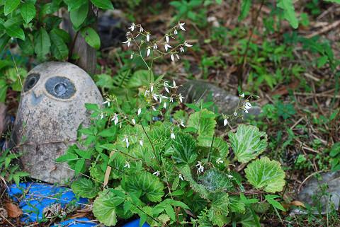ユキノシタの花が1