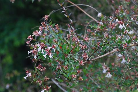 ハナツクバネウツギの花は1