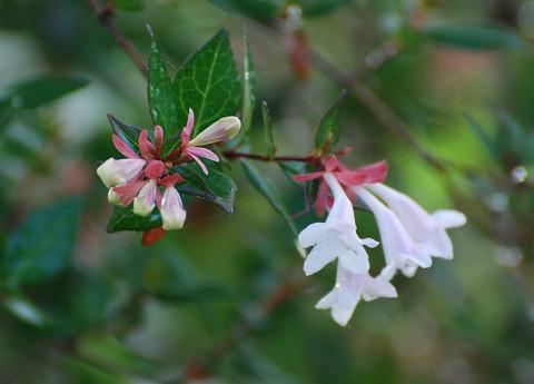 ハナツクバネウツギの花は2