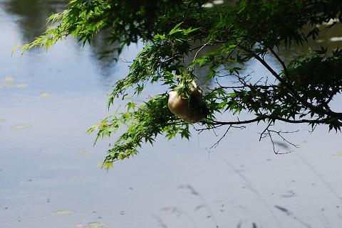 モリアオガエルの卵塊一つ