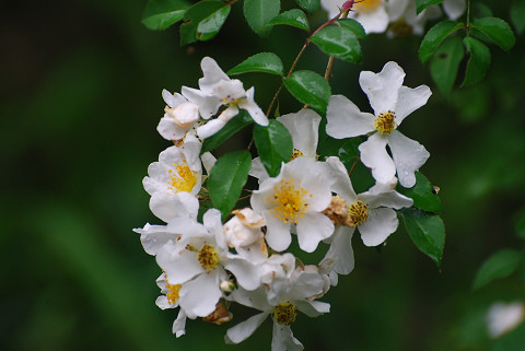 ノイバラの花は