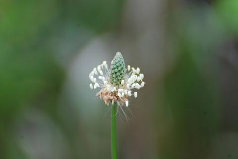 ヘラオオバコの花は1